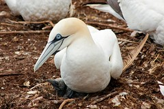 animal, wing, fauna, close-up, gannet, beak, bird, seabird, wildlife,