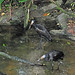 Small photo of African Openbill Stork (Anastomus lamelligerus)