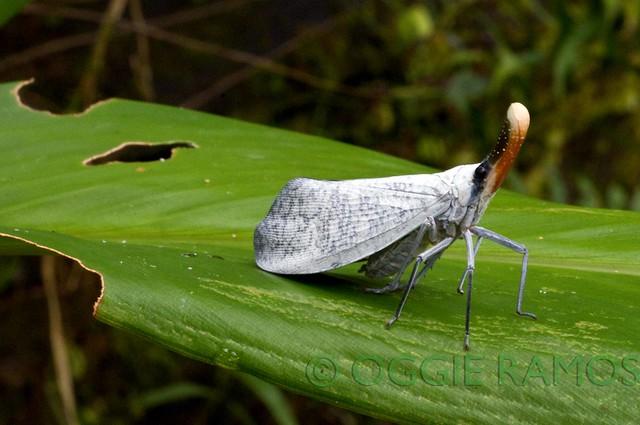 Maconacon Forest Fulgoridae