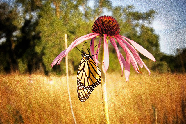 butterfly pictures butterfly life cycle butterfly symbolism butterfly tattoos butterfly lyrics monarch butterfly butterfly coloring pages butterfly bush monarch butterfly facts monarch butterfly life cycle swallowtail butterfly monarch butterfly diet monarch butterfly migration monarch butterfly endangered monarch butterfly habitat monarch butterfly life span coneflower care coneflower pictures coneflower colors purple coneflower coneflower facts coneflower varieties yellow coneflower coneflower plants Door County Wisconsin coneflower varieties purple cone flower cone flower photo yellow cone flower cone flower care coneflower seeds cone flower foliage hydrangea