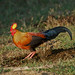 Sri Lanka Junglefowl - endemic (David Allison)