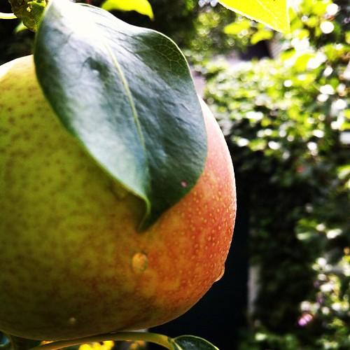 more pears #maine #lughnasadh #urbangarden #organicgarden
