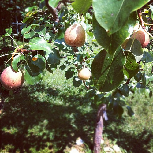 the Staceyville pear is loaded #organicgarden #urbangarden #maine #lughnasadh