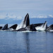 Humpback Whales Bubble Net Feeding in Alaska