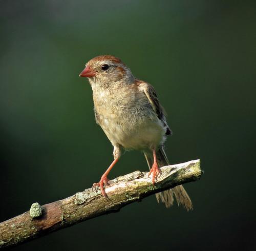 Field Sparrow, Negri-Nepote Native Grassland Preserve, Franklin Township, NJ by JFPescatore