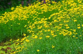 Unidentified Wildflowers (Broadleaf Arnica?)