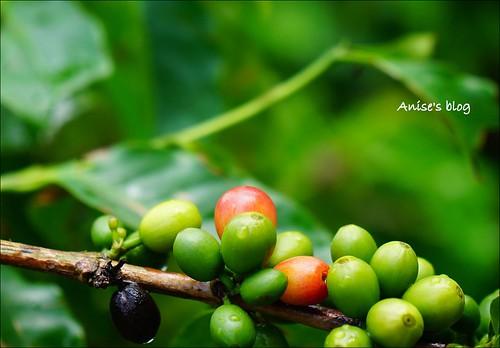 台東太麻里+咖啡豐盛咖啡028