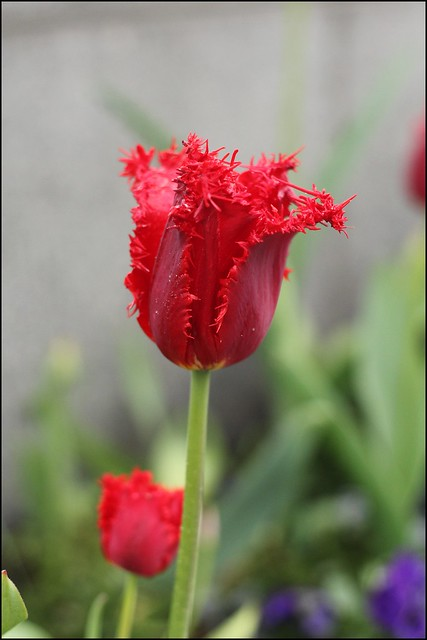 death tulips
