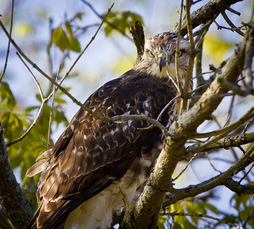2012 Parkside Hawk by Ricky L. Jones Photography