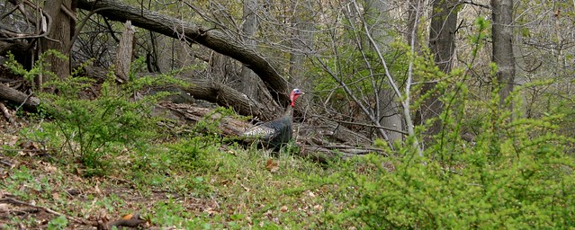Wild Turkey at Lambert Castle