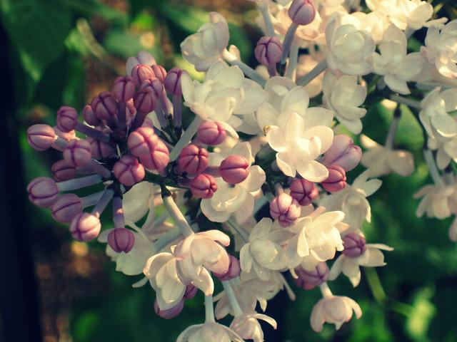 lilacs in belmont, ma