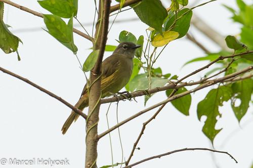 birds cameroon littoral bulbuls greenbuls sanagariver andropdusansorgei ansorgesgreenbul