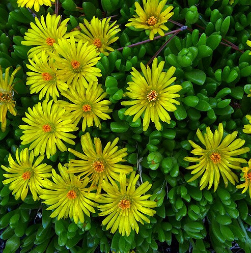 yellow_flowers_5