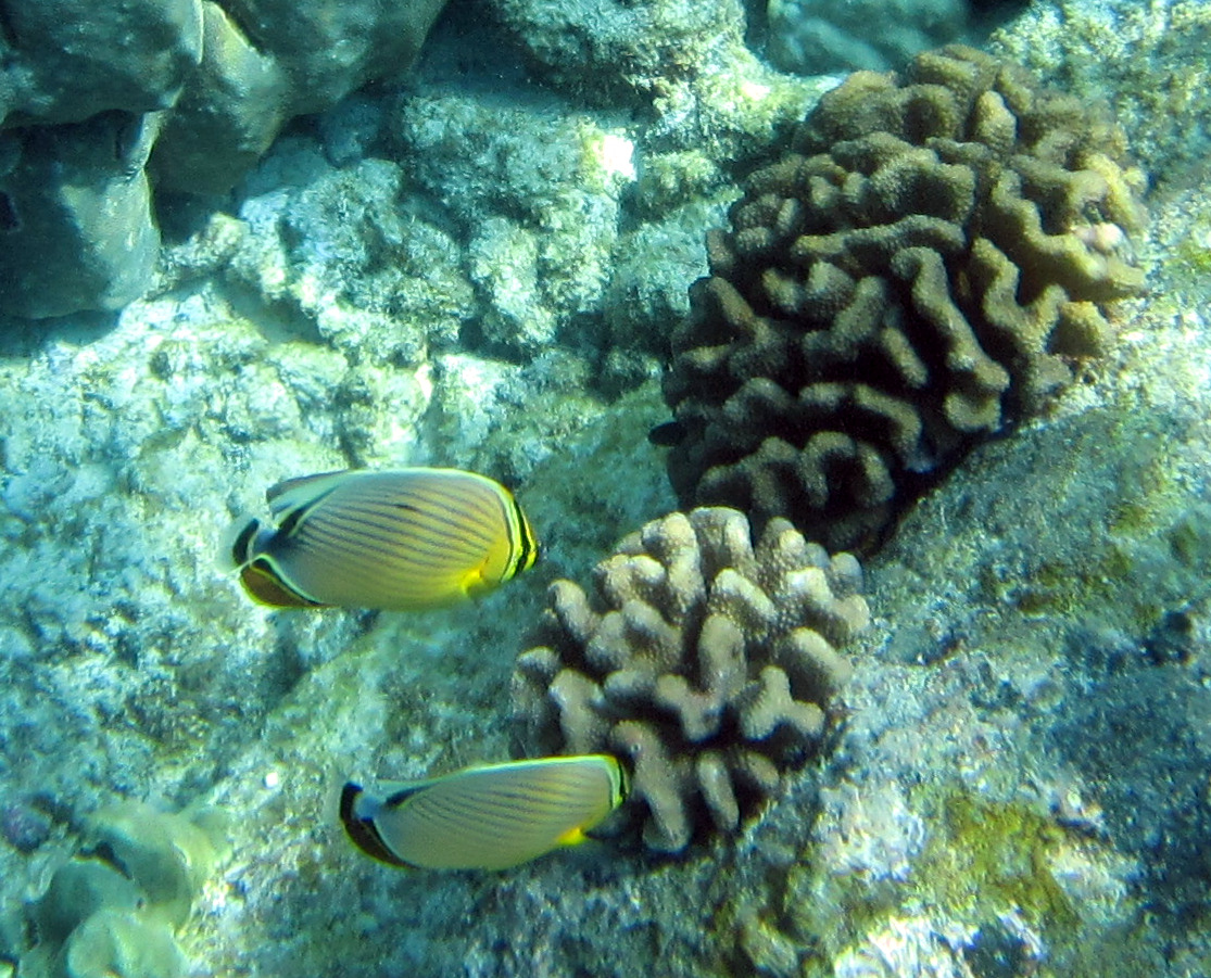 Oval butterflyfish - photo#18