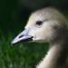 Baby goose (Gosling) by garreyf