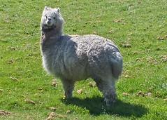 dog(0.0), pumi(0.0), pet(0.0), alpaca(1.0), animal(1.0), camel-like mammal(1.0),