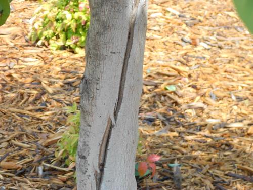 Lightning Cracked Tree