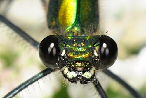 Calopteryx splendens - Banded Demoiselle