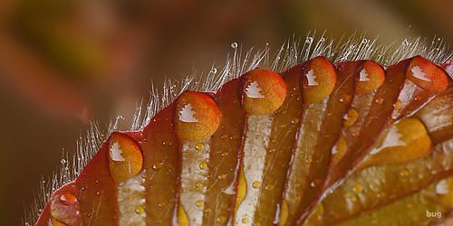 druppels op een beukenblad