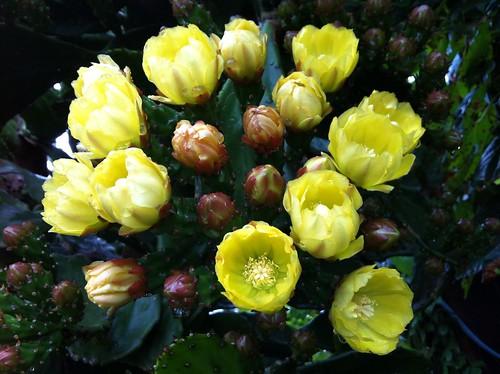 ようやく咲いたサボテンの花