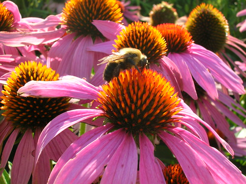 Bumble bees (Bombus spp.) are important pollinators for many food crops and medicinal plants, like this purple coneflower (Echinacea purpurea). Photo Credit: FS photo by Teresa Prendusi