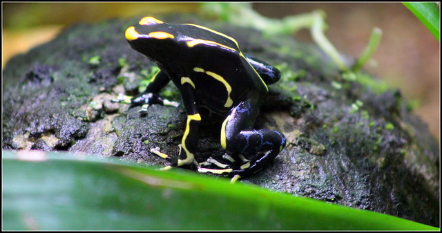 Florida Poison Frogs http://www.flickr.com/photos/cuatrok77/7423280612/
