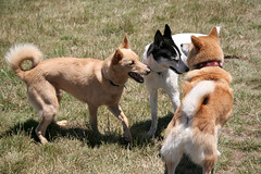 dingo(0.0), czechoslovakian wolfdog(0.0), street dog(0.0), shikoku(0.0), east siberian laika(0.0), greenland dog(0.0), tervuren(0.0), belgian shepherd malinois(0.0), wolfdog(0.0), saarloos wolfdog(0.0), norwegian lundehund(0.0), dog breed(1.0), animal(1.0), dog(1.0), canaan dog(1.0), pet(1.0), mammal(1.0), korean jindo dog(1.0), icelandic sheepdog(1.0),