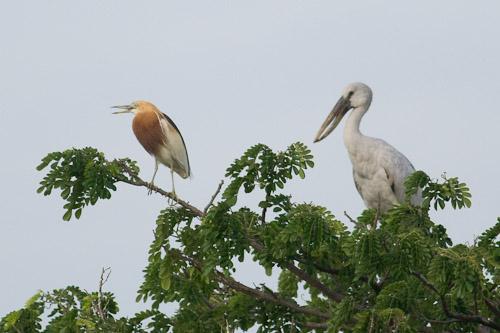 Javan Pond-heron and Asian Openbill
