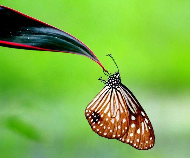 IMG4206/Burma/Rakhine State/Arakan/ Parantica Agléoidès Agléoidès/male Up on  leaf