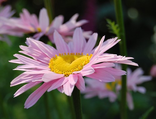 Another pyrethrum flower