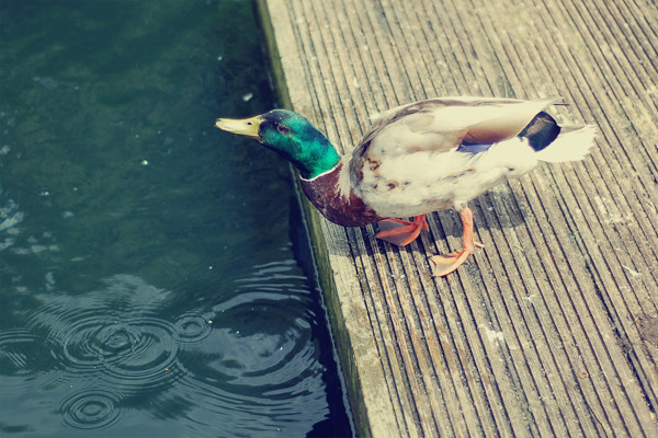 Wardrobeblock : Mallard duck england drinking Dulwich park South London