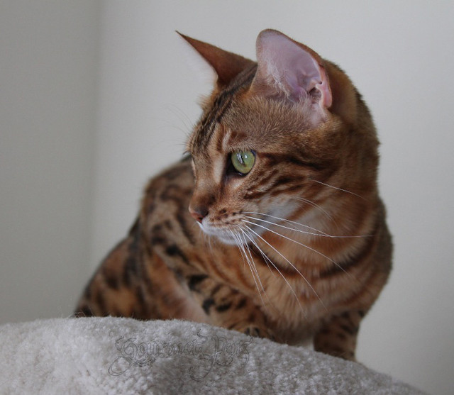 Peaches the Bengal