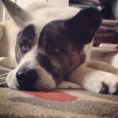 border collie, animal, akita, dog, pet, mammal,