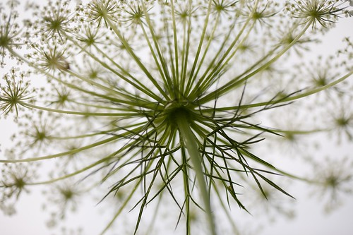 Queen Anne's Lace from underneath