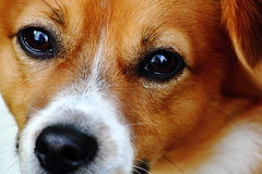 puppy(0.0), dog breed(1.0), nose(1.0), animal(1.0), kooikerhondje(1.0), dog(1.0), skin(1.0), pet(1.0), snout(1.0), close-up(1.0), carnivoran(1.0), whiskers(1.0), beagle(1.0), eye(1.0), organ(1.0),