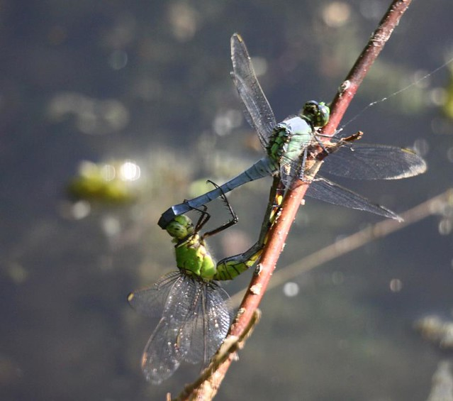 Common Pondhawk male and female