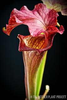 Sarracenia 'Reptilian Rose'