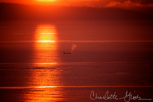 Orca Taking a Breath at Sunset