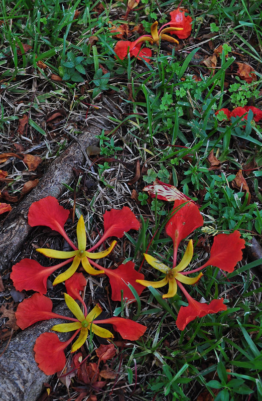 Royal Poinciana (3)