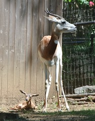It's a Boy! Dama Gazelle Born at the Smithsonian's National Zoo