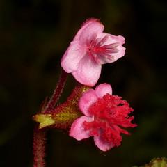 Begoniaceae of Ecuador