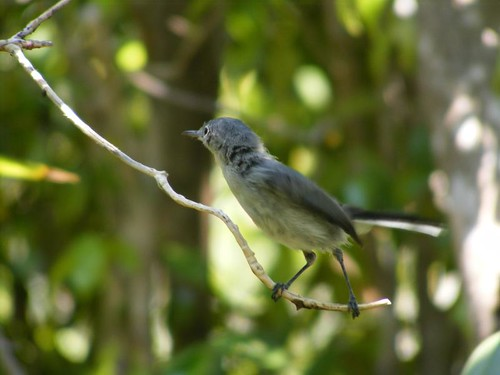 Gray gnatcatcher