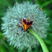 Small photo of Bicolored Pyrausta Moth (Pyrausta bicoloralis)