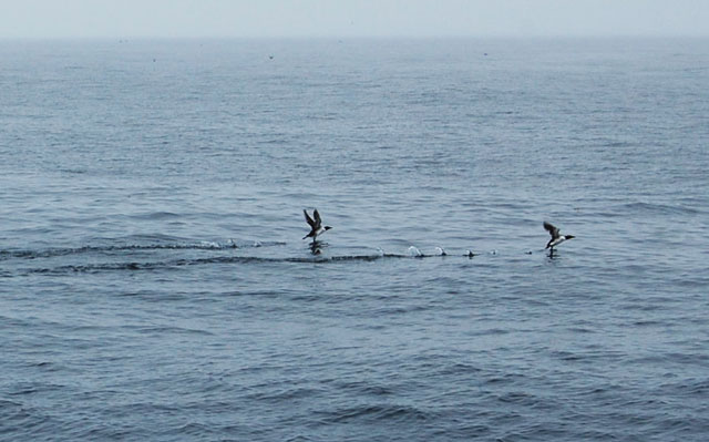 murres-trying-to-fly