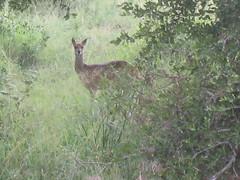 Impala in Kruger.