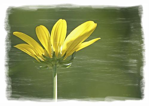 wonderfulworldofflowers natureflowersconeflowernorthamericacanonbeauty artisticarteffectsphotoshop