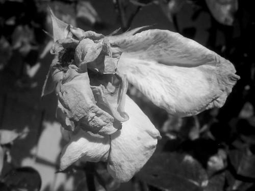 Old Rose Petals