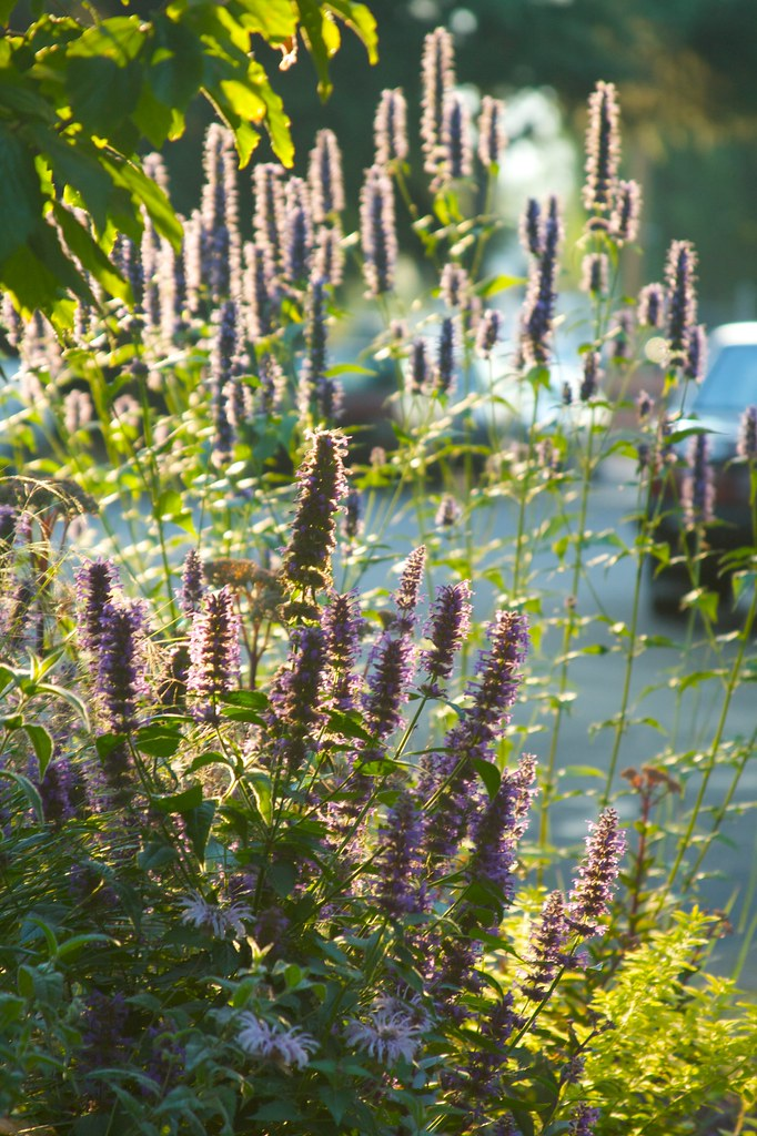 agastache august morning  2001