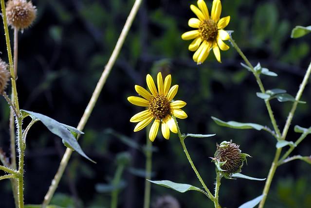 _DSC0015e ~ Wildflowers & Weeds