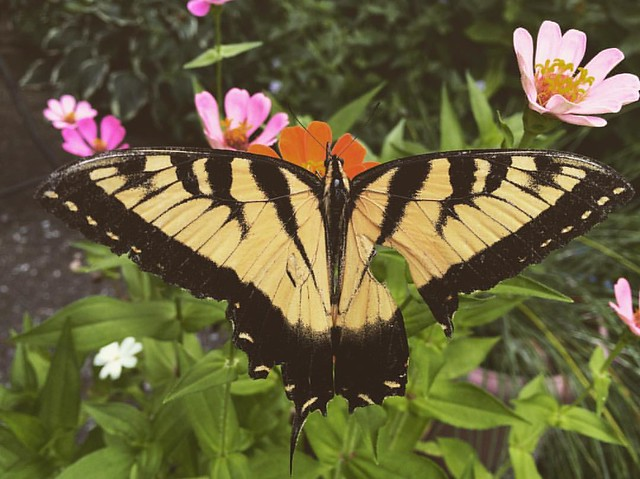 Male Eastern Tiger Swallowtail #butterflies #butterfly #flowers #zinnia #zinnias #patiogarden #garden #easterntigerswallowtail